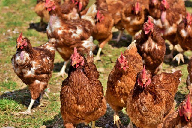 Ayam petelur dewasa