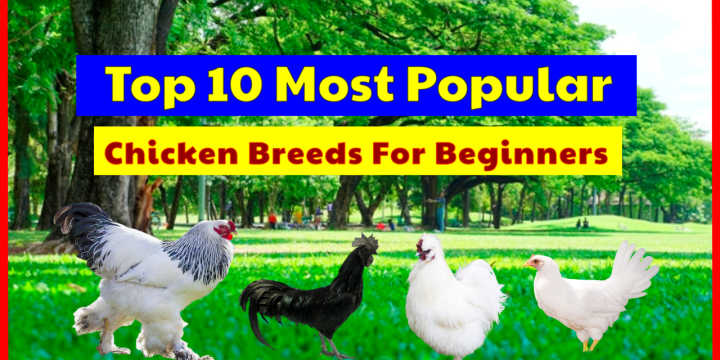 Top 10 Most Popular Chicken Breeds For Beginners