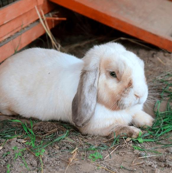 Kelinci adalah hewan yang sering di pelihara oleh manusia karena keunikan dan kelucuannya | gambar 3