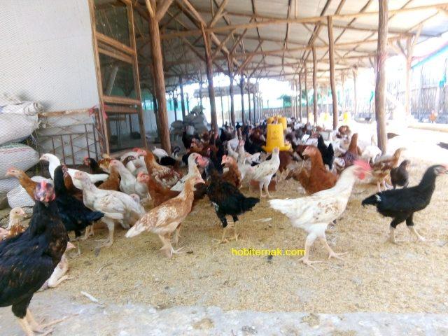 Ayam kampung super (joper) terkenal dengan masa panenya yang cepat yaitu 60 hari | Image 1