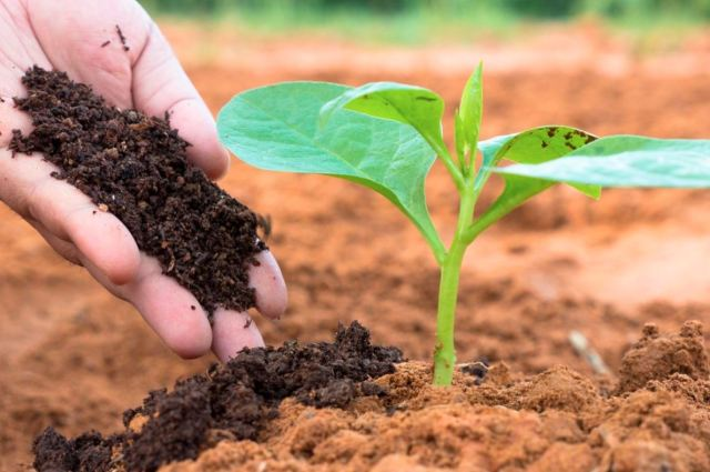 Pupuk yang berasal dari kotoran ayam memiliki manfaat yang dapat menyuburkan tanaman | image 2