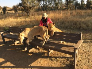 walking-with-lions-africa-johannesburg