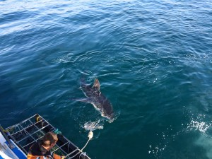 shark-cage-diving-south-africa-shark-alley-gansbaai