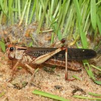 Learning from Locusts