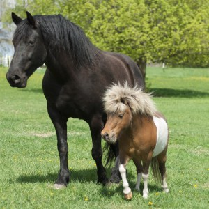 Hobuse tüüp