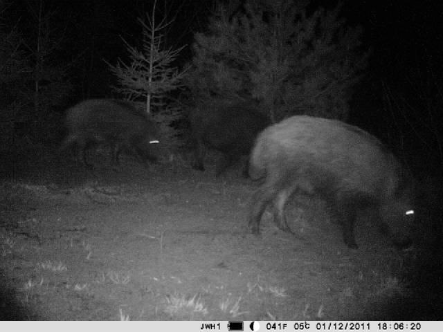 3G Kameras, hier Wildschweine