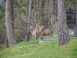 Des biches se promenaient dans le cimetière / Few deers were taking a walk in the cemetery
