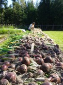 drying the onion harvest for storage