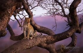 Leopard in sunset