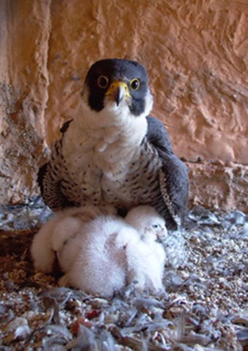 Who can resist such cute fluffy balls of feathers? Photo ©Hans Martin Gäng, Verein AG peregrine Falcon Heidelberg, photo of the peregrine falcon with its chicks