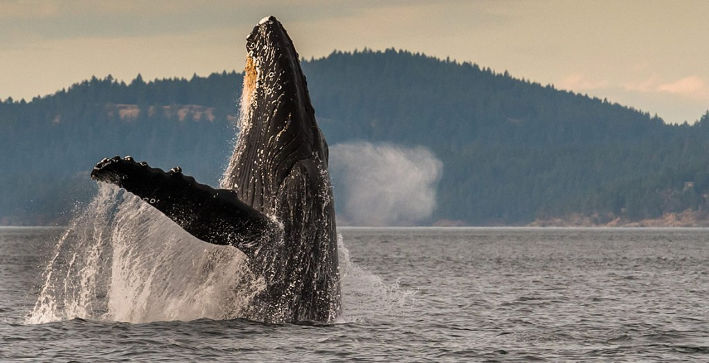 San Juan whale watching tours are a great way to experience the Pacific NW.