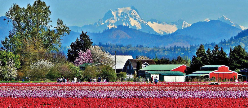 Beautiful view of North Cascades behind the tulips of Roozengaarde.