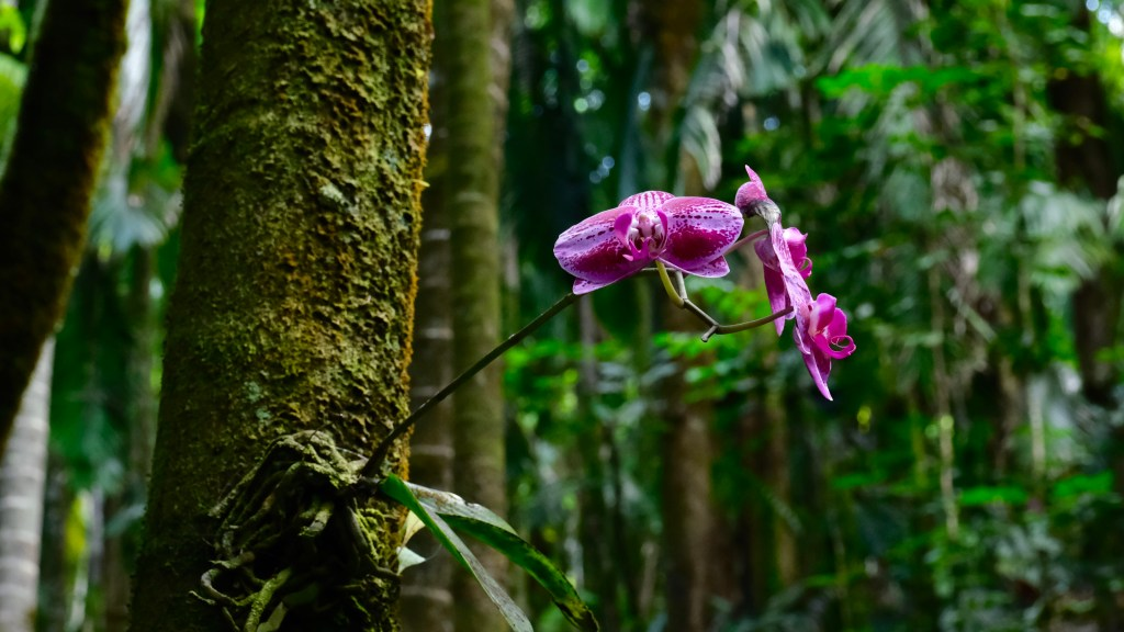 Orchids at Hawaii tropical botanical gardens is a beautiful thing to do on Hawaii Big Island