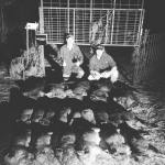 Hogs removed from trap