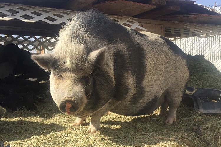 The Year of the Pig at Hogs & Heifers Saloon blog