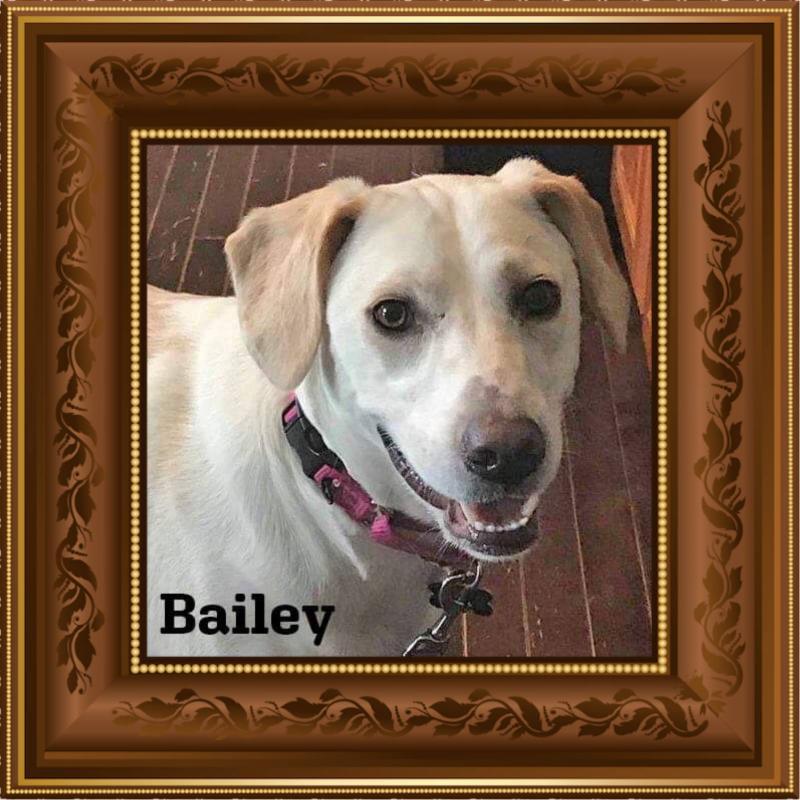 bailey adoptable lab