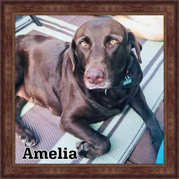 Amelia - HOH Adoptable Dogs