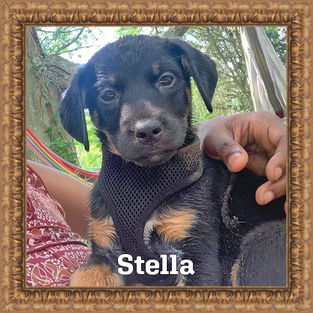 Stella - HOH Adoptable Dog