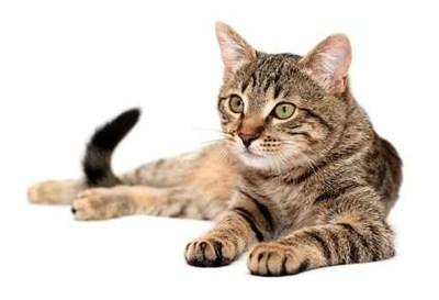 Tabby cat lying on white