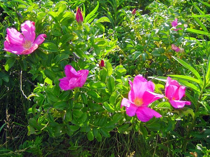 初夏に甘い香りで咲き乱れるハマナス
