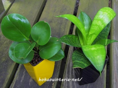 北欧インテリアに合う観葉植物