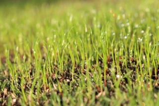 秋の芝生の種まき オーバーシーディング10日後