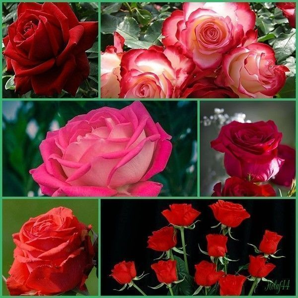 La Rose Rouge LAmour
