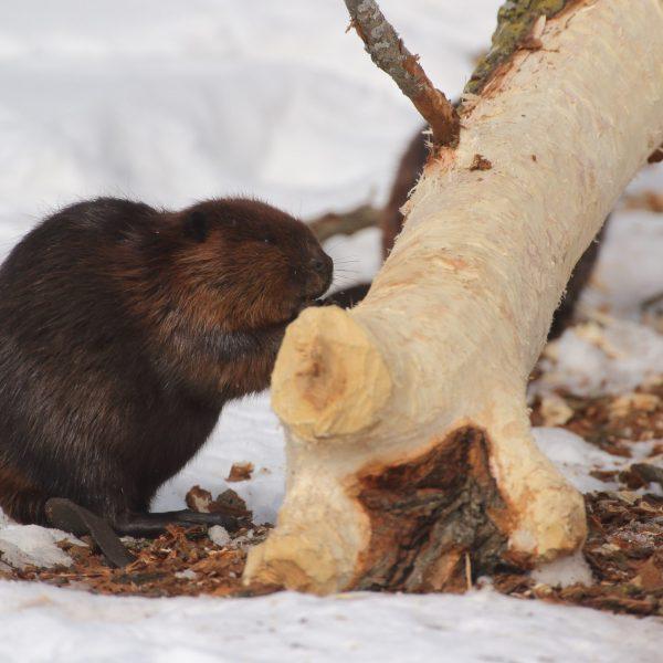 Feeding on the bark of deciduous trees