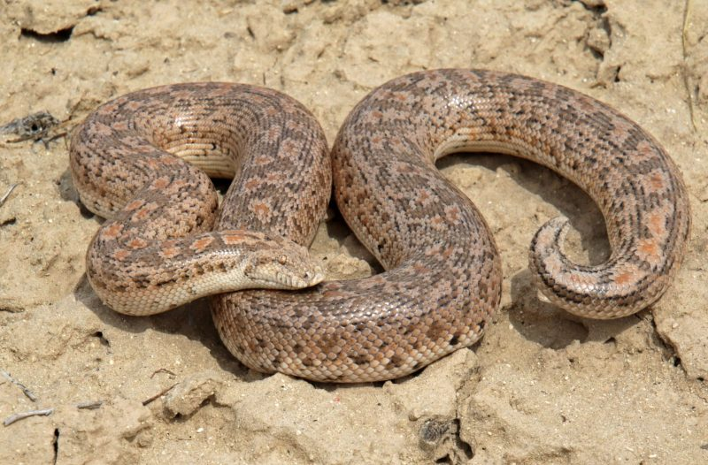 The dwarf sand boa hunts on small lizards, hiding in sand.