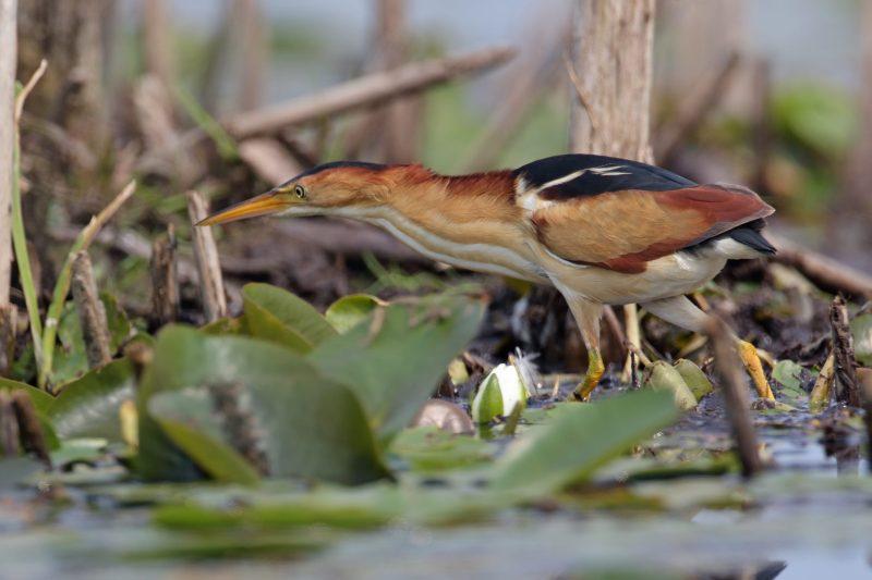 Least bittern looking for food, exploring wetland area