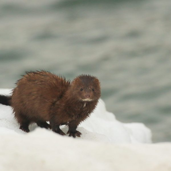 The American mink near Ontario Lake