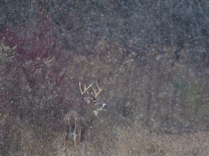 The White-tailed deer in snowfall