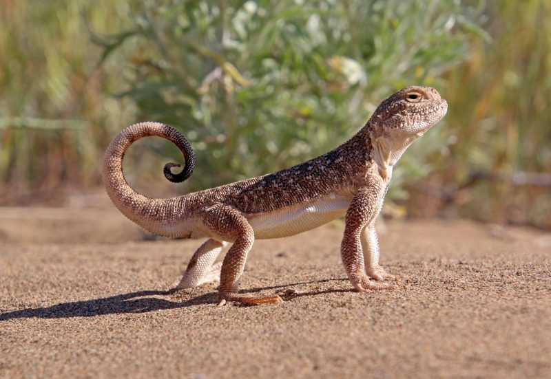 All toad-headed agamas like to play by tail attracting insects