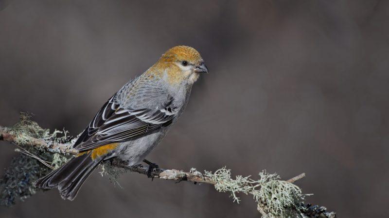 Pine grosbeak female