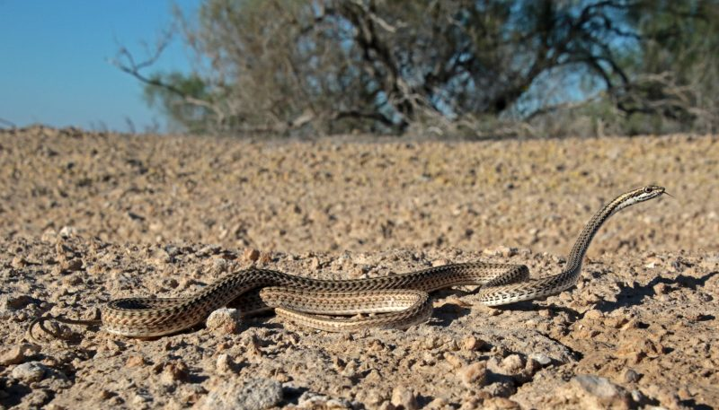 This swift snake usually wait for its prey in the branches of arid shrubs and bushes