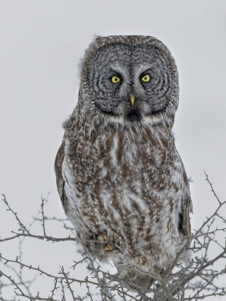 Great Gray Owl is an inhabitant of taiga forests