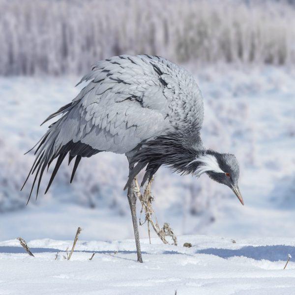 Demoiselle crane looking for food in snow