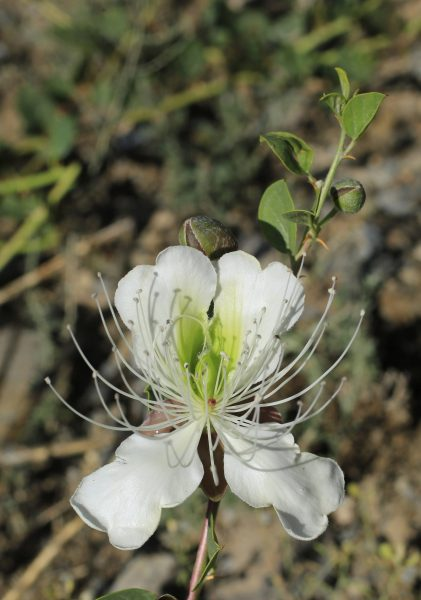 Caper bush has not only beautiful large white flowers, but also edible fruits.