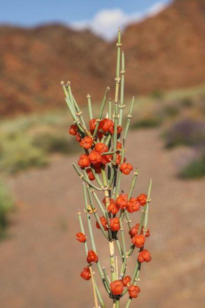 One of most common Ephedra species in Kyrgyzstan