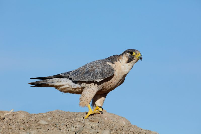 Barbary Falcon before flight
