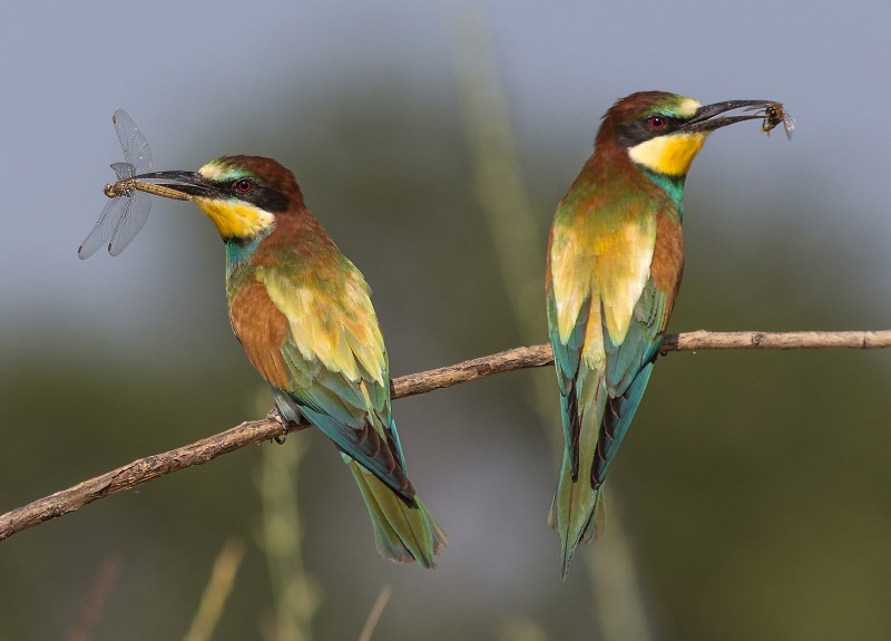 European bee-eaters with prey
