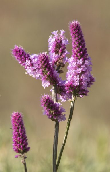 This is one of ornamental species, growing in the dry mountains