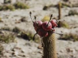 Wüstenfrüchte