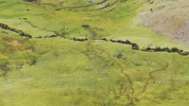 Schafe statt Lamas