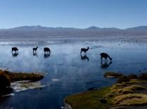durstige Lama, Laguna Colorada