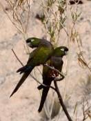 Papageien. Sie fliegen in Schwärmen und machen Radau