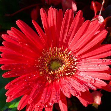 flores-gerberas-img169