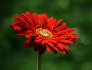 flores-gerberas-img427