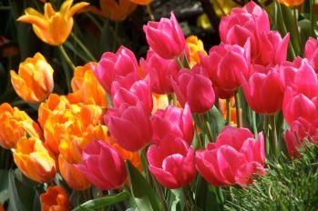 tulipanes-flores-imagen057