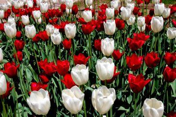tulipanes-flores-imagen088
